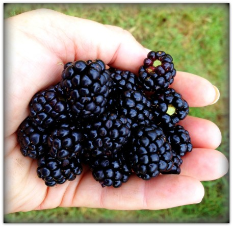 blackberries in hand